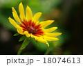 花 ルドベキア 植物の写真 18074613