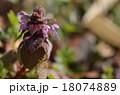 ヒメオドリコソウ 植物 山野草の写真 18074889