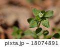 コハコベ 花 ナデシコ科の写真 18074891