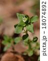 コハコベ 花 ナデシコ科の写真 18074892