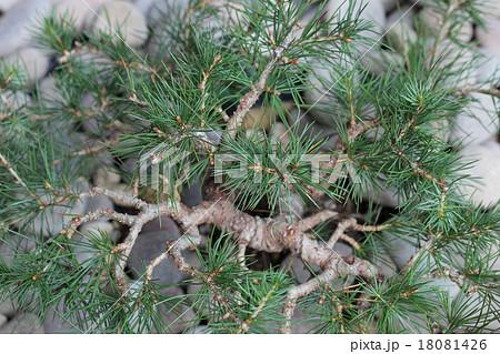 レバノン杉の葉の写真素材 [18081426] , PIXTA