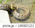 シマヘビ ヘビ 爬虫類の写真 18082121