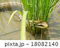 シマヘビ ヘビ 爬虫類の写真 18082140
