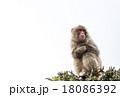 猿  18086392
