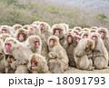 猿だんご 集団 小豆島 18091793