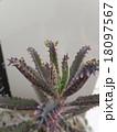 多肉植物「不死鳥」 18097567