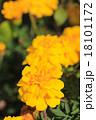 マリーゴールド 花 黄色の写真 18101172