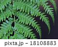 ヘゴの葉と雨雫 18108883