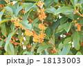 キンモクセイの花 18133003