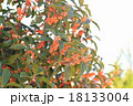 キンモクセイの花 18133004