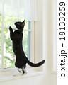 窓によじ登る猫 18133259