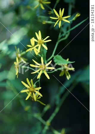 雪見菊 木登り菊と呼ばれています。 18134281