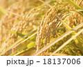 稲 稲穂 穀物の写真 18137006