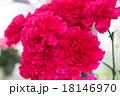 ピンクのカーネーション 18146970