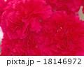 ピンクのカーネーション 18146972