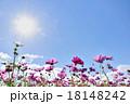 コスモス 青空 花の写真 18148242