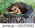 きりかぶ 切り株 樹木の写真 18155682