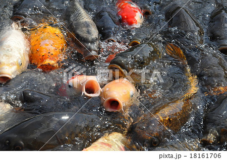 パクパク鯉 18161706