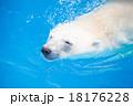 泳ぐシロクマ 18176228