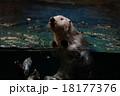 水族館のラッコ 18177376