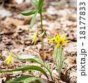 エリスロニューム Trout lily plant erythronium americanum 18177833