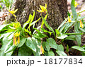 エリスロニューム Trout lily plant erythronium americanum 18177834