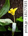 エリスロニューム Trout lily plant erythronium americanum 18177835