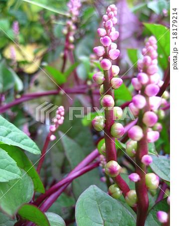つるむらさきの花 18179214