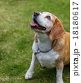 ビーグル犬 18180617