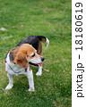 ビーグル犬 18180619