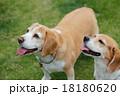 ビーグル犬 18180620
