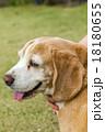 ビーグル犬 18180655