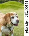 ビーグル犬 18180656