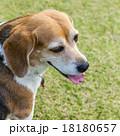 ビーグル犬 18180657
