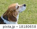 ビーグル犬 18180658