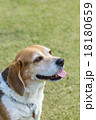 ビーグル犬 18180659
