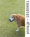 ビーグル犬 18180661