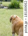 ビーグル犬の背中 18180662