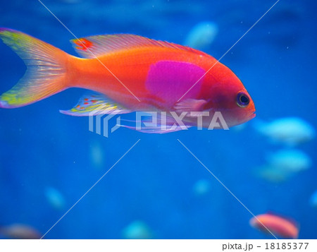 優雅に泳ぐ熱帯魚 18185377