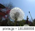 たんぽぽ 18188008