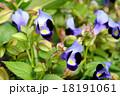 トレニア 夏菫 ゴマノハグサ科の写真 18191061