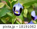 トレニア 夏菫 ゴマノハグサ科の写真 18191062