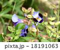 トレニア 夏菫 ゴマノハグサ科の写真 18191063