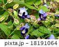 トレニア 夏菫 ゴマノハグサ科の写真 18191064
