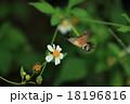 ホウジャク 虫 昆虫の写真 18196816