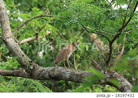 生き物 鳥類 ズグロミゾゴイ、石垣島。山道脇の太い木の上で周囲を警戒中 18197432