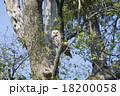 エゾフクロウ 18200058
