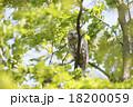 エゾフクロウ 18200059