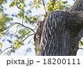 エゾフクロウ 18200111