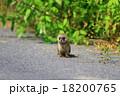 野生のイタチ 18200765